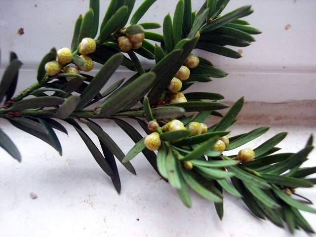 The Yew flowers in March. The Yew is a dioecious species (with separate male and female plants). This picture shows the male flowers developing. Shortly the flowers will release clouds of yellow pollen. This tree was pictured in Elstow Church yard in Bedfordshire- mid February 2006.