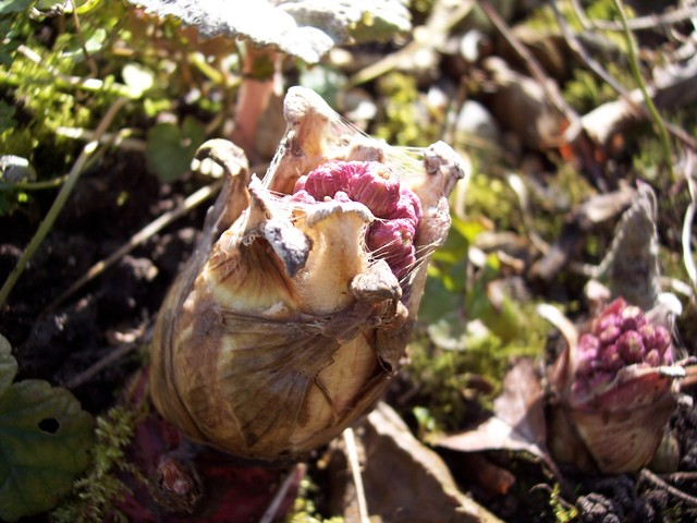 These pictures show Butterbur in various stages of development. Butterbur is a pink-liver coloured plant that spreads by creeping stems.  Male plant are common across England, however female plants are generally only found in the Midlands, Yorkshire and Lancashire.  Male plants occasioanlly have a s...