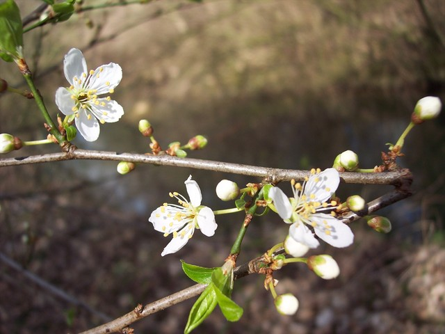 The cherry-plum is just starting to flower. A shrub or small tree usually less than 10m high, cherry-plum usually starts flowering in March, and is the first white-flowered blossom tree (usually 2-3 weeks before blackthorn) producing flowers about 2cm across. It flowers at the same time as the young...