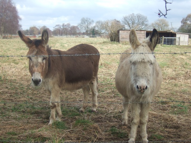 Donkeys. Pictured in Clophill, Bedfordshire 2005