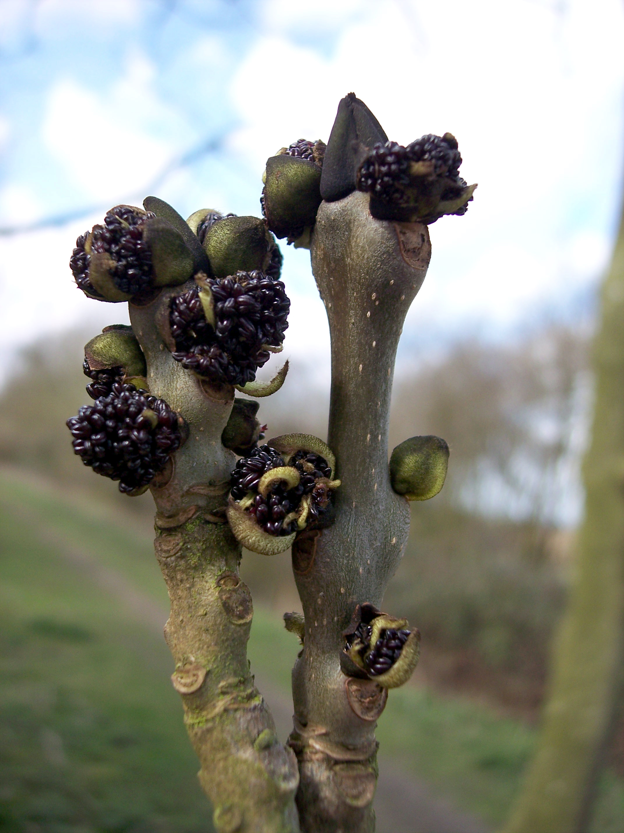 In late Autumn /winter, Ash can be easily distinguished by its black buds and in summer by its distinctive pinnate leaves. The black buds turn brown and flowers appear, usually in April, before the leaves and are wind pollinated. It produces both male flowers (pictured), female and bisexual flowers....