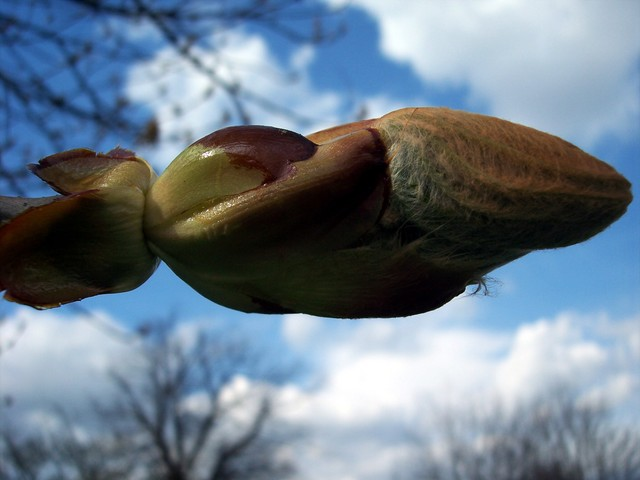 The buds are just opening. Horse-chestnut is a deciduous tree with dark grey-brown bark and palmate leaves (divided into 5-7 leaflets). It flowers May - June, each flower has four white petals. In late summer/early autumn it produces globular geen prickly fruits which then turn brown. Each fruit con...