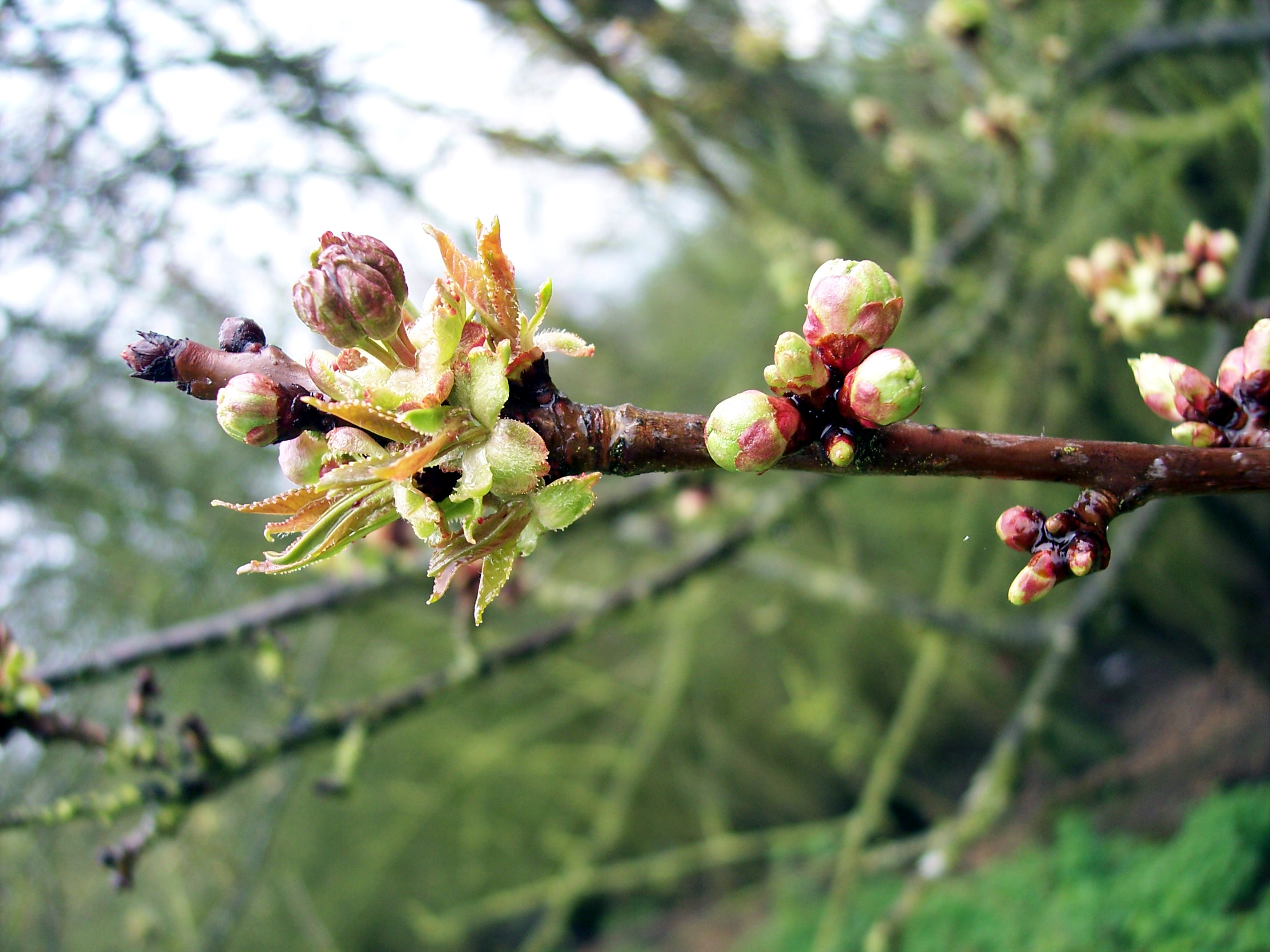 A tree that can reach 20m or more, it has purple-grey, shiny, peeling horizontally bark. Open grown trees have conical crowns. The buds are large, pointed and russet against grey twigs. They burst in April producing leaves that are initially brown but soon turn green. The leaves have two prominent k...
