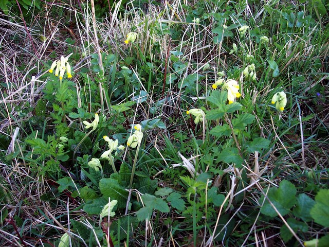 The cowslip is found in meadows and chalky grasslands. Its leaves are in a rosette. They are wrinkled and hairy on both sides. In April and May, bright yellow drooping flowers are produced that are smaller and less open than those of the primrose. As with the primrose, there are two kinds of flower ...