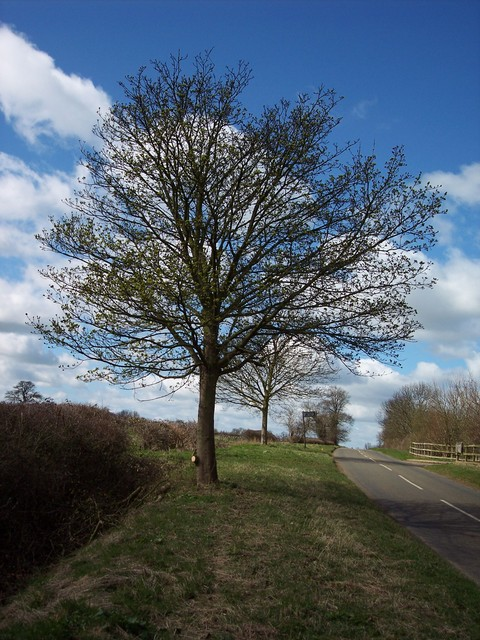 This is a tree of lower ground. It can reach 25 - 30 metres, however its diameter is less than that of the Sycamore. It differs from Sycamore in having reddish brown buds pressed close to the twig and sharply pointed lobed leaves. The bright yellow/green flowers sit upright on the tree. They appear ...