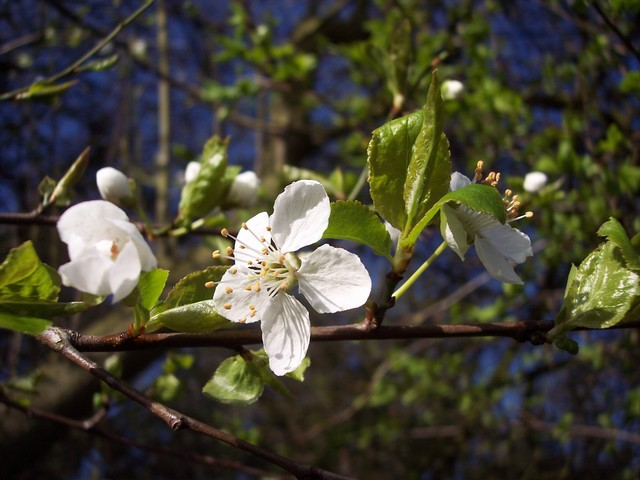 The cherry-plum is now in full flower.  A shrub or small tree usually less than 10m high, Cherry-plum usually start flowering in March, and is the first white-flowered blossom tree (usually 2-3 weeks before blackthorn) producing flowers about 2cm across.  It flowers at the same time as the young lea...