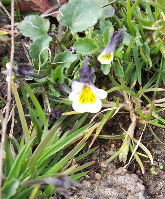 The field pansy has creamy flowers. It is a small plant and the sepals are longer than the petals. The plant's name derives from the French for 'thought' and it was traditionally the plant of remembrance and love. It used to be known as 'Heartsease', as in Shakespeare's 'A Midsummer Night's Dream', ...