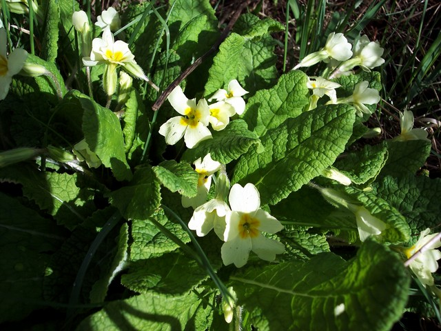 A plant associated with the arrival of Spring.  It usually begins flowering in March. Primrose is a herb with a rosette of very crinkled oblong/spoon shaped leaves. The pale yellow flowers are held on slightly woolly stalks. It flowers March to June in woods, hedgerows and grasslands.  It produces t...