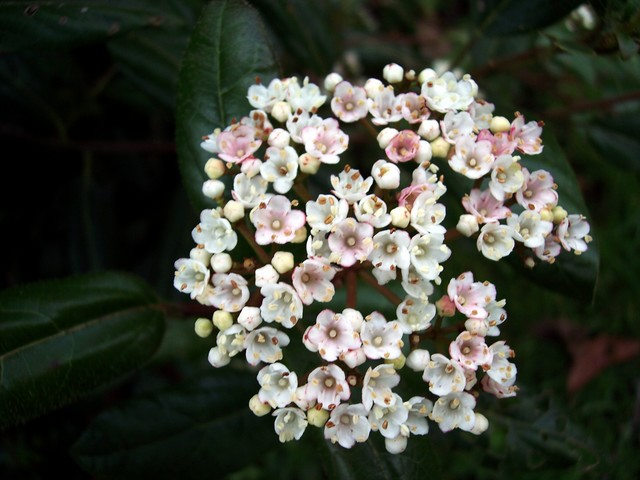 This plant appears to be an early flowering species of Viburnum (probably a variety of viburnum tinus), very close in appearance to the native species the Wayfaring Tree (Viburnum lantana), but without the fine teeth on its leaves.  The Wayfaring Tree flowers later usually in May. Picture taken 1st ...