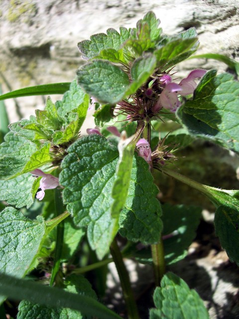The Red dead nettle is now becoming very common. It is a plant with purple-pinkish flowers, which can vary in shape according to habitat and the amount of competition. In locations of denser foliage it grows taller, more upright and the flowers are paler. The plant was once boiled and eaten as a pot...