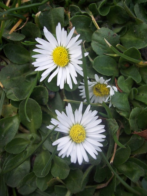 One of the most common flowers of short grassland. The daisy has a yellow disc surrounded by white petals. The stem is hairy and the leaves spoon shaped. The flowers open in the morning and close at night and in dull weather. Its Latin name means beautiful and although regarded as a weed, it has bee...
