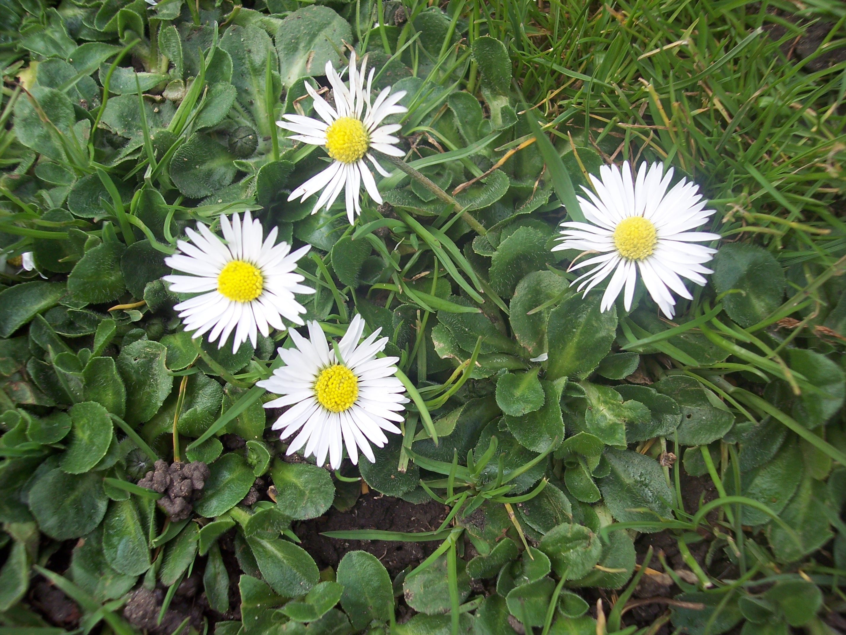 how to kill bellis perennis