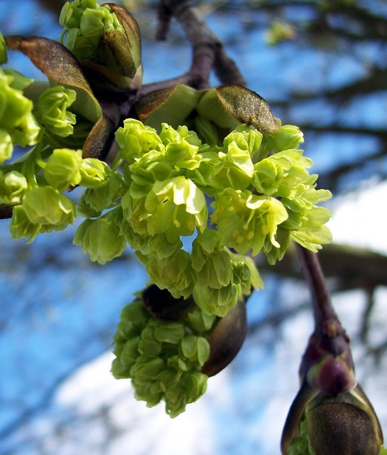 This is a tree of lower ground.  It can reach 25 - 30 metres, however its diameter is less than that of the Sycamore.  It differs from Sycamore in having reddish brown buds pressed close to the twig and sharply pointed lobed leaves.  The bright yellow/green flowers sit upright on the tree (here they...