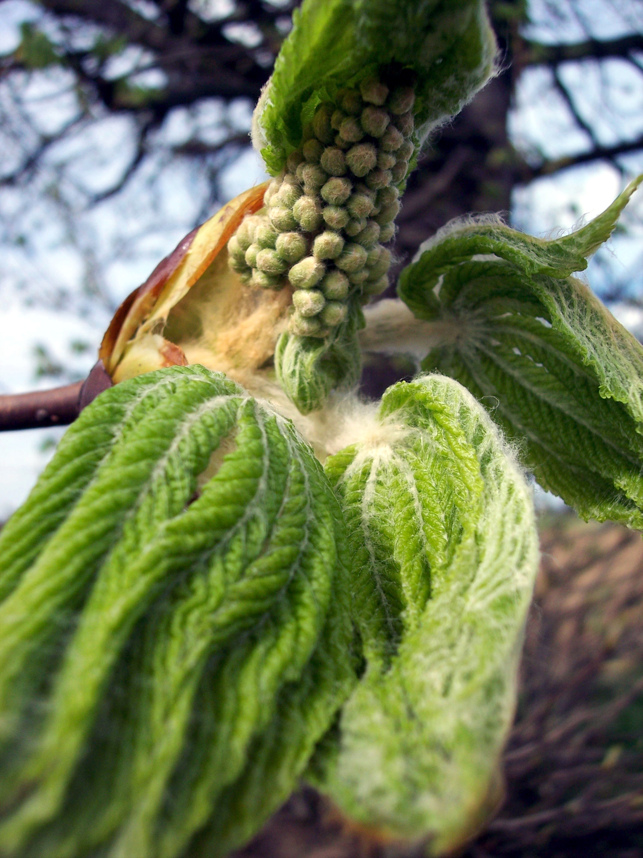 Here the leaves are unfolding to show the developing flowers. Horse-chestnut is a deciduous tree with dark grey-brown bark and palmate leaves (divided into 5-7 leaflets). It flowers May - June, each flower has four white petals. In late summer/early autumn it produces globular geen prickly fruits wh...