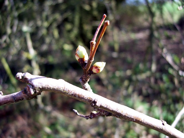 This plant is starting to bud.  Its flowering is meant to herald the arrival of summer and warm weather, hence the saying 'Ner cast a clout until the May is out' in other words don't pack away winter clothing until it flowers. Hawthorn is a thorny shrub or tree (up to 10m) with dark green deeply lob...