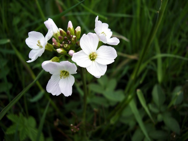 A pretty flower common in damp meadows and by streams. It was associated with milkmaids hence the nickname Lady's smock. It also had more sinister connections and it was once believed that, if you picked the flower and took it into your house, it would be struck by lightning. The flowers can range f...
