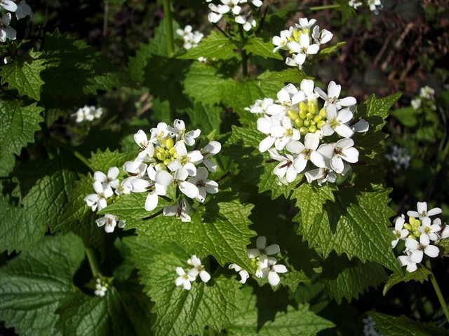 Garlic Mustard is a common flower of hedgerows, shady wood margins and by walls.  It is the only mustard to give off the strong smell of garlic, but it is not related to garlic. It was also known as poor man's mustard and jack-by-the-hedge.  It can be made into a sauce and used as a condiment.  The ...