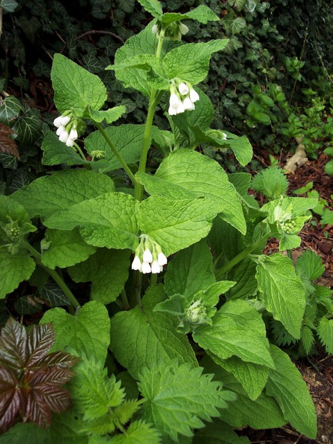 Comfrey was used in medieval times to set bones.  It was grated into a sludge and packed around the bone - its name comes from the Latin 'conferre' which means bring together. It was also given for back ache and used to make a cough syrup.  It can also be boiled like spinach and eaten. It has long p...
