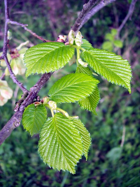 New leaves. This used to be the classic English hedgerow tree. It has small rounded rough-surfaced leaves which are longer on one side than the other. It has slim twigs with dark buds. The red flowers are produced in late February or March ripening by May, to give seeds with round wings. The tree ba...