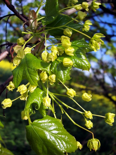 This is a tree of lower ground. It can reach 25 - 30 metres, however its diameter is less than that of the Sycamore. It differs from Sycamore in having reddish brown buds pressed close to the twig and sharply pointed lobed leaves. The bright yellow/green flowers sit upright on the tree (pictured). T...