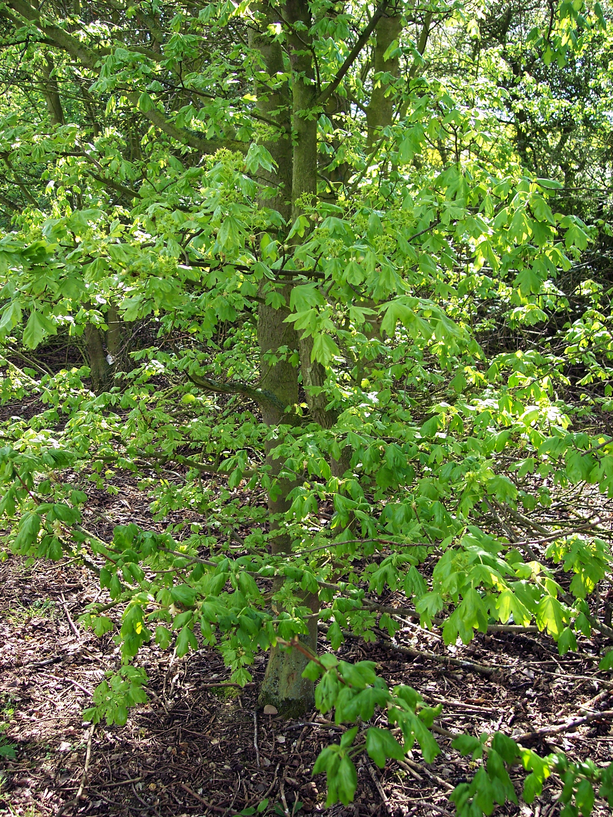 Field maple is a small, deciduous tree which can be up to 25m tall, but often reaches only 15m. It has fissured often corky bark. It prefers lime-rich soils in woodland, often as an understory to the oak, or in scrub and hedges. Its five petalled flowers are small and green. They are produced in upr...