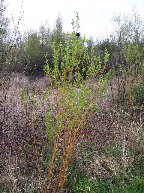 A variety of white willow Golden Osier is grown for its bright yellow twigs, which are very straight. Its leaves and catkins resemble those of the white willow.