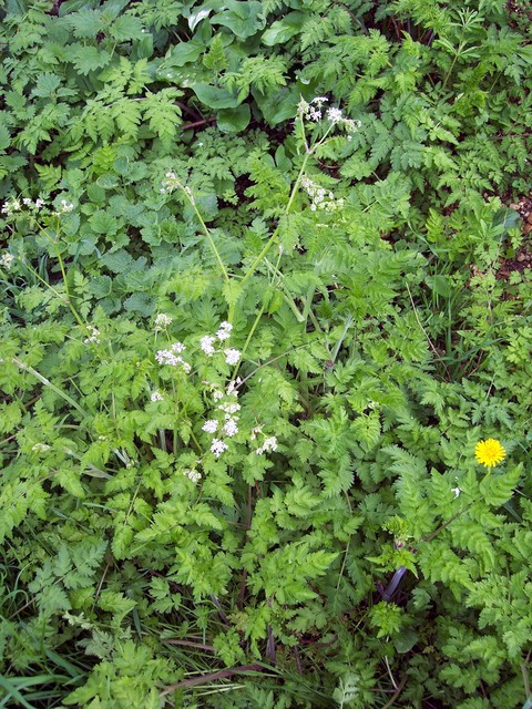 A plant associated with early spring.  It grows in masses along roadsides, on wasteland and field borders.  Cow Parsley is the first of three look alike parsleys to flower.  It flowers between April and early June.  The branches to the flower heads are hairless and there are small bracts under the f...