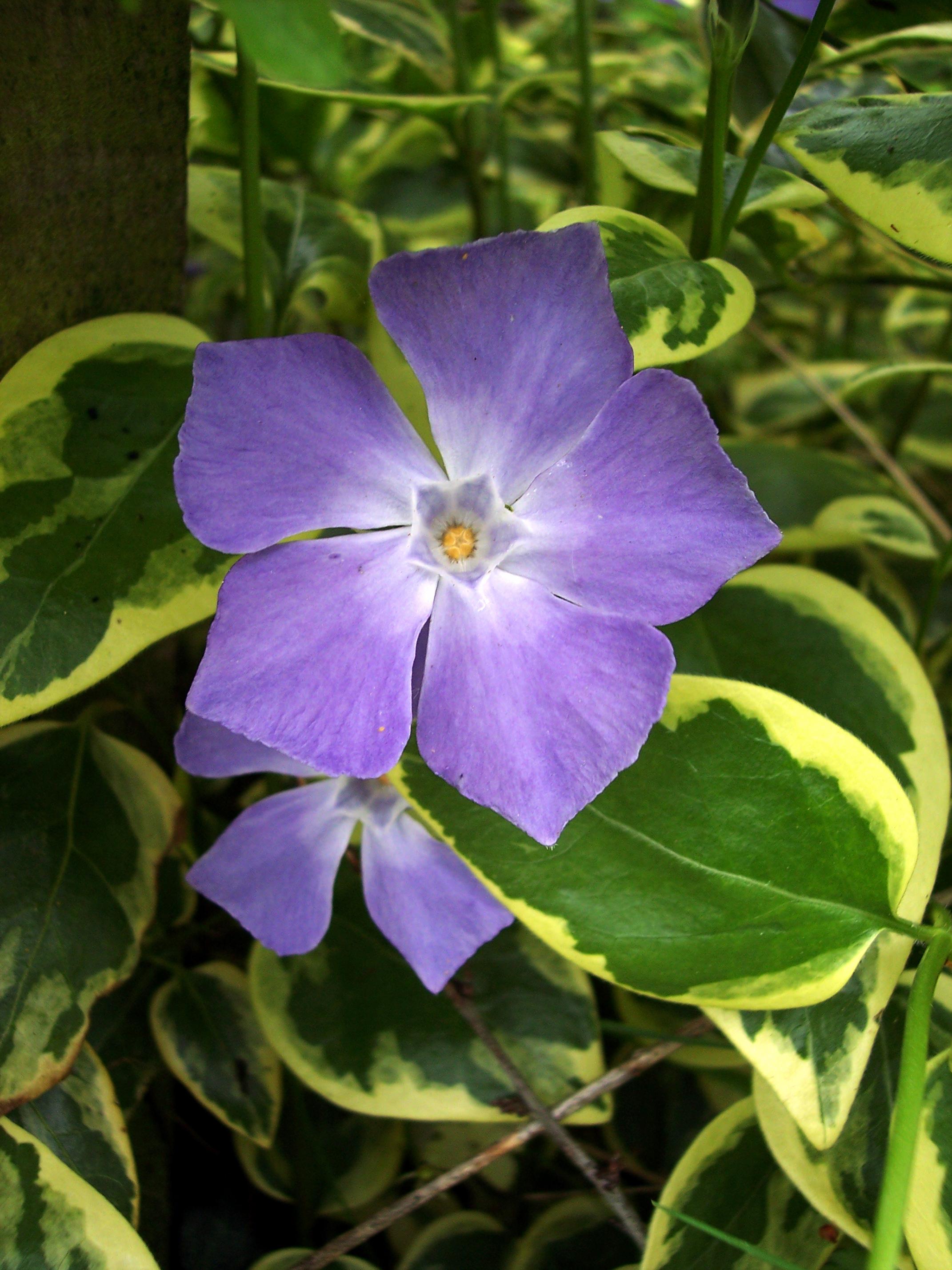 Periwinkle Flower Related Keywords & Suggestions Periwinkle Flower Long