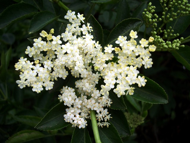 The Elder has just come into flower. A shrub or small tree (up to 10m), elder is common in hedgerows, woods and scrubland. It has creamy five lobed flowers. In late summer / early autumn it produces black edible berries. Picture taken 12th May 2006 at Old Warden, Bedfordshire