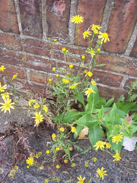 This plant, found on the old railway cutting at Stevington, has bright yellow flowers similar to Common Ragwort. There are usually 13 outer ray florets. The pointed bracts around the flower heads have black tips. The stems are upright hairless. The lower leaves narrow to a short stalk the upper leav...