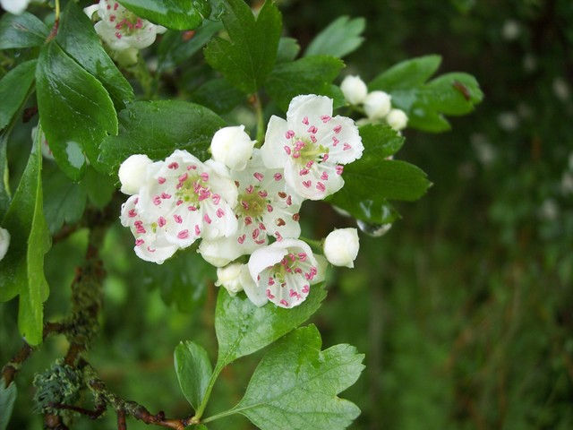 The Hawthorn is now starting to flower. Its flowering is meant to herald the arrival of summer and warm weather, hence the saying 'N'er cast a clout until the May is out' in other words don't pack away winter clothing until it flowers. Hawthorn is a thorny shrub or tree (up to 10m) with dark green d...