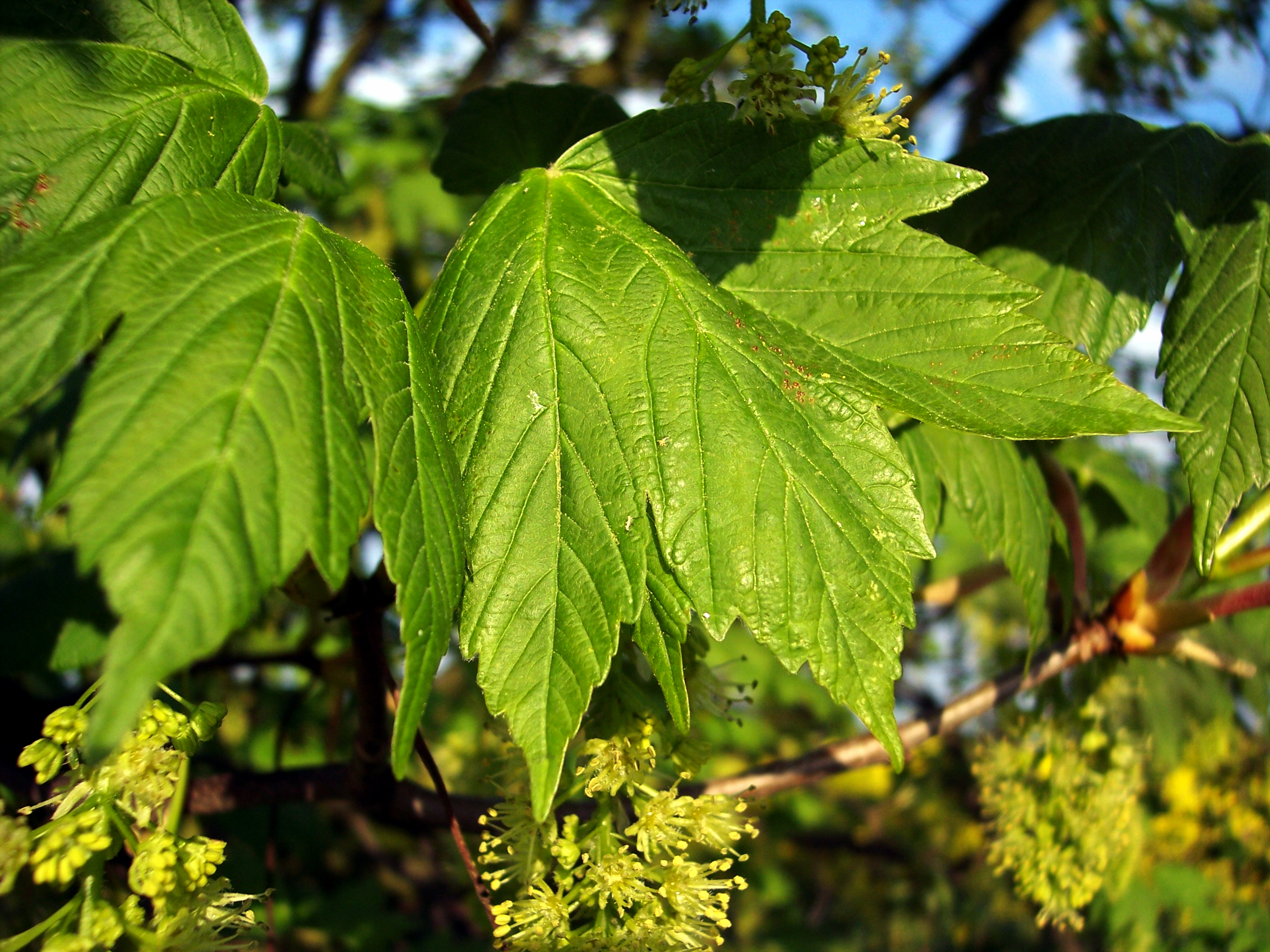 The sycamore tree can reach a height of 30-35 metres. It has distinctive 5-7 lobed leaves that are coarsely toothed. It can live for several hundred years. It flowers in April and May, producing small yellow green flowers on pendants. The fruit is winged and matures in late summer/early autumn enclo...