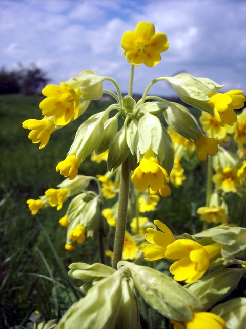 The cowslip is found in meadows and chalky grasslands. Its leaves are in a rosette. They are wrinkled and hairy on both sides. In April and May bright yellow drooping flowers are produced that are smaller and less open than those of the primrose. As with the primrose there are two kinds of flower pr...