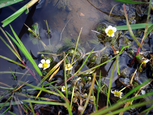 Common water crowfoot ranunculus aquatalis nen gallery for Pond plants names