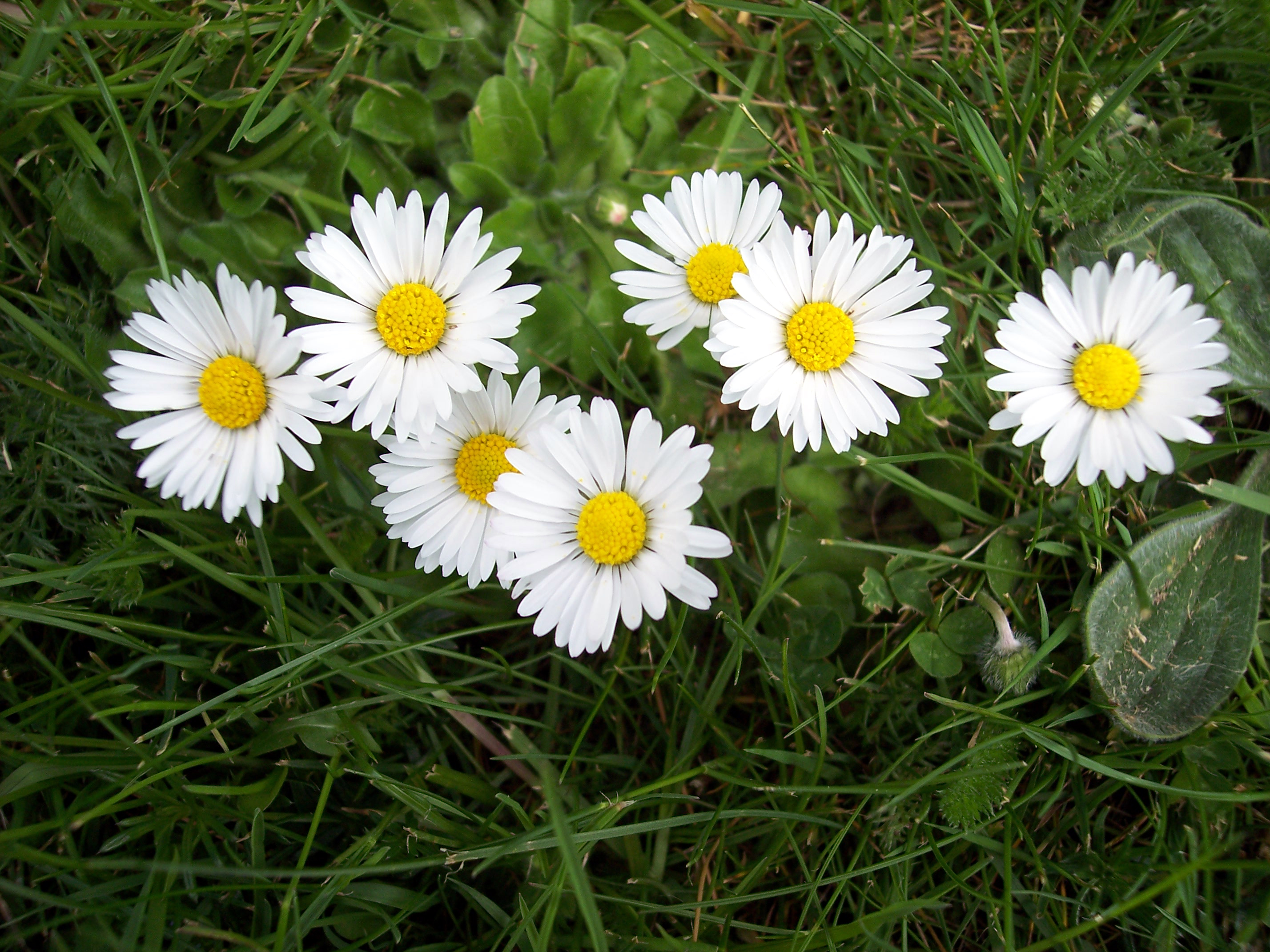 View image full size one of the most common flowers of short grassland the daisy has a yellow disc izmirmasajfo Gallery