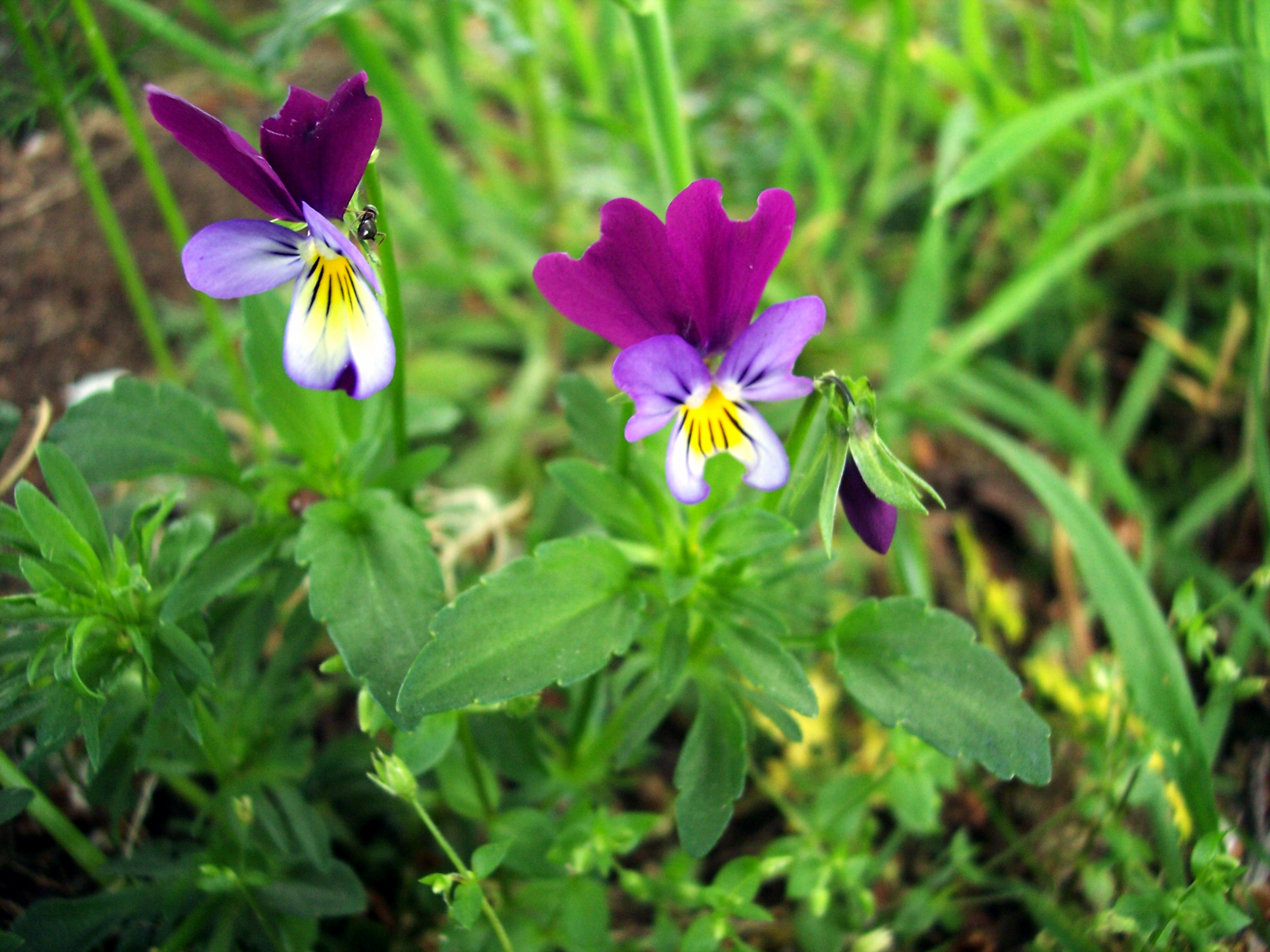 A plant of waste or arable land and dry grassland.  Its flowers are usually yellow blue and mauve (hence tricolour) and are 1.5 - 2.5 cms from top to bottom.  Picture taken 2nd May 2006 at Maulden, Bedfordshire.