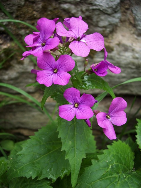 Dame's Violet is a tallish plant with fragrant lilac or white flowers. It is  an herbaceous plant belonging to the natural order Cruciferae, and closely allied to the wallflower and stock. It has an erect stout leafy stem 2 to 3 ft. high, with irregularly toothed shortstalked leaves. The white or li...