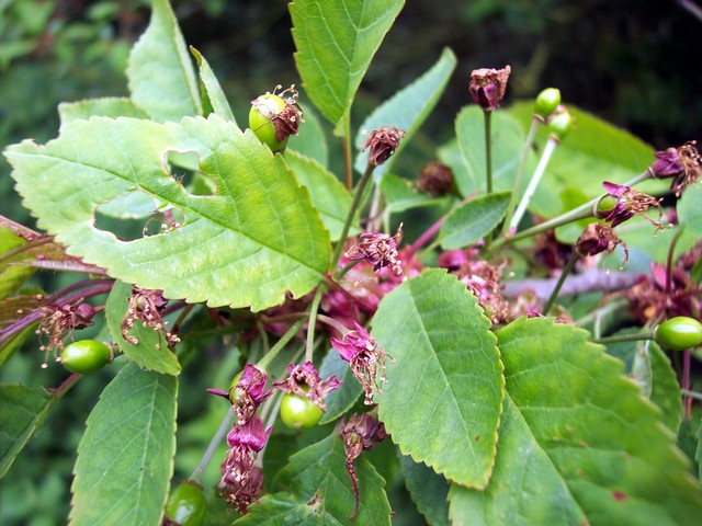 The fruit is now starting to develop on the Wild Cherry which is a tree that can reach 20m or more. It has purple-grey, shiny, peeling horizontally bark. Open grown trees have conical crowns. The buds are large, pointed and russet against grey twigs. They burst in April producing leaves that are ini...