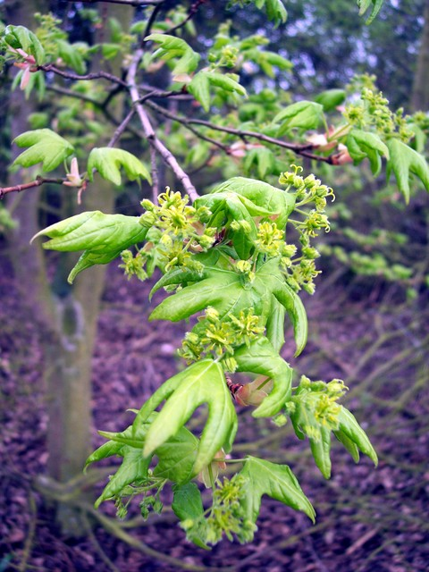 Field maple is a small, deciduous tree which can be up to 25m tall, but often reaches only 15m. It has fissured often corkey bark. It prefers lime-rich soils in woodland, often as an understory to the oak, or in scrub and hedges. It's five petalled flowers are small and green. They are produced in u...