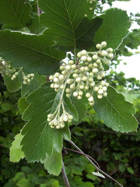 This tree has some leaves like whitebean and others more lobed and may be a hybrid between whitebeam and the Wild Service Tree (Sorbus torminalis), the hybrid is known as broadleaved Whitebeam (S. x latifolia). Whitebeam is a tree that has a regular crown in the open and steeply rising branches when...