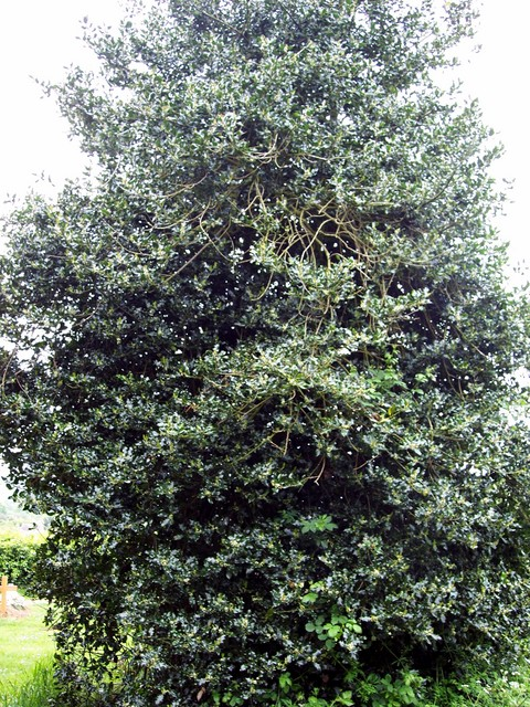 Holly is usually found as a small shrub 3-15 m but holly can grow into a large tree. It has smooth thin bark, glossy green leaves with wavy edges and spines It flowers May - August and the female plants produce bright red fruits in Autumn/Winter. Picture taken May 18th 2006 at Maulden, Bedfordshire....
