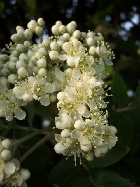 This tree is  a hybrid of Rowan (Sorbus aucuparia) and Whitebeam (Sorbus aria).   It has upward pointing branches. The leaves show a combination of the characters of Rowan which has pinnate leaves and Whitebeam which has simple leaves. The leaves are shiny green and deeply lobed with two pairs of fr...