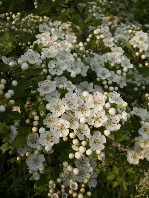The Hawthorn is now flowering. Its flowering is meant to herald the arrival of summer and warm weather, hence the saying 'Ner cast a clout until the May is out' in other words don't pack away winter clothing until it flowers. Hawthorn is a thorny shrub or tree (up to 10m) with dark green deeply lobe...