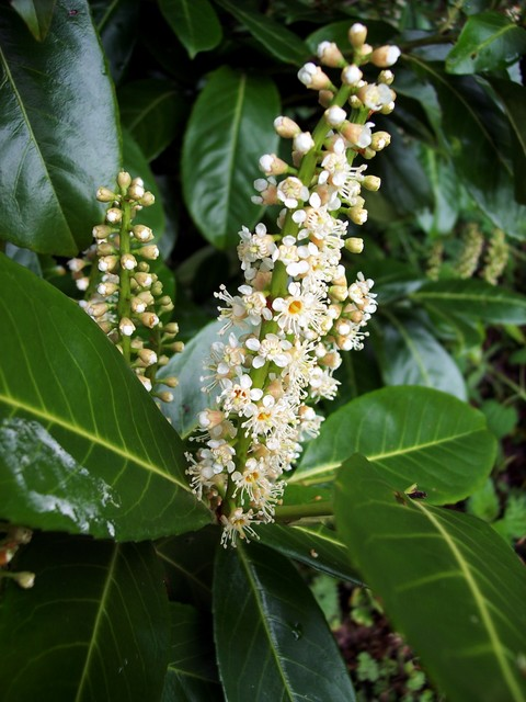 An evergreen shrub or small tree, growing to 5-10 m tall, rarely to 18 m tall, with a trunk up to 50 cm diameter. The leaves are dark green, shiny and leathery. It produces upright flowers in racemes 5-12cm long. The individual flower petals are small, white and about 4mm long. It was introduced fro...