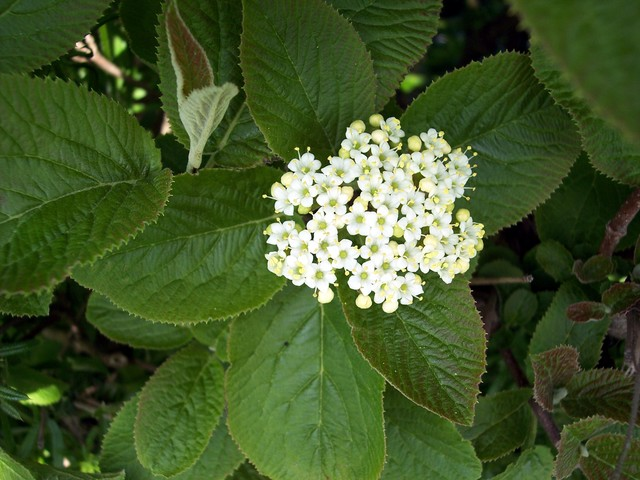 A deciduous shrub with pale brown downy twigs. The leaves are in opposite pairs and are oval, wrinkled and very finely toothed. The underside of the leaves are grey and downy. It produces many small white flowers. The fruits are green at first then red and finally black. It flowers May to June and t...