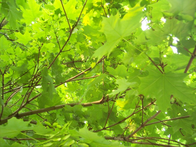 The Norway Maple can be distinguished from the Sycamore by its pointed leaves.  This is a tree of lower ground. It can reach 25 - 30 metres, however its diameter is less than that of the Sycamore. It differs from Sycamore in having reddish brown buds pressed close to the twig and sharply pointed lob...