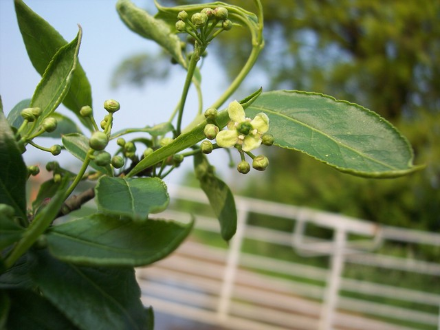 A shrub or small tree 2-6 metres tall.  Spindle produces small greenish white flowers during June and July. Between September and November it produces four lobed fruits, which are a bright coral pink. The fruits open by splits to expose bright orange seed sheaths. It grows in woodlands and by ditche...