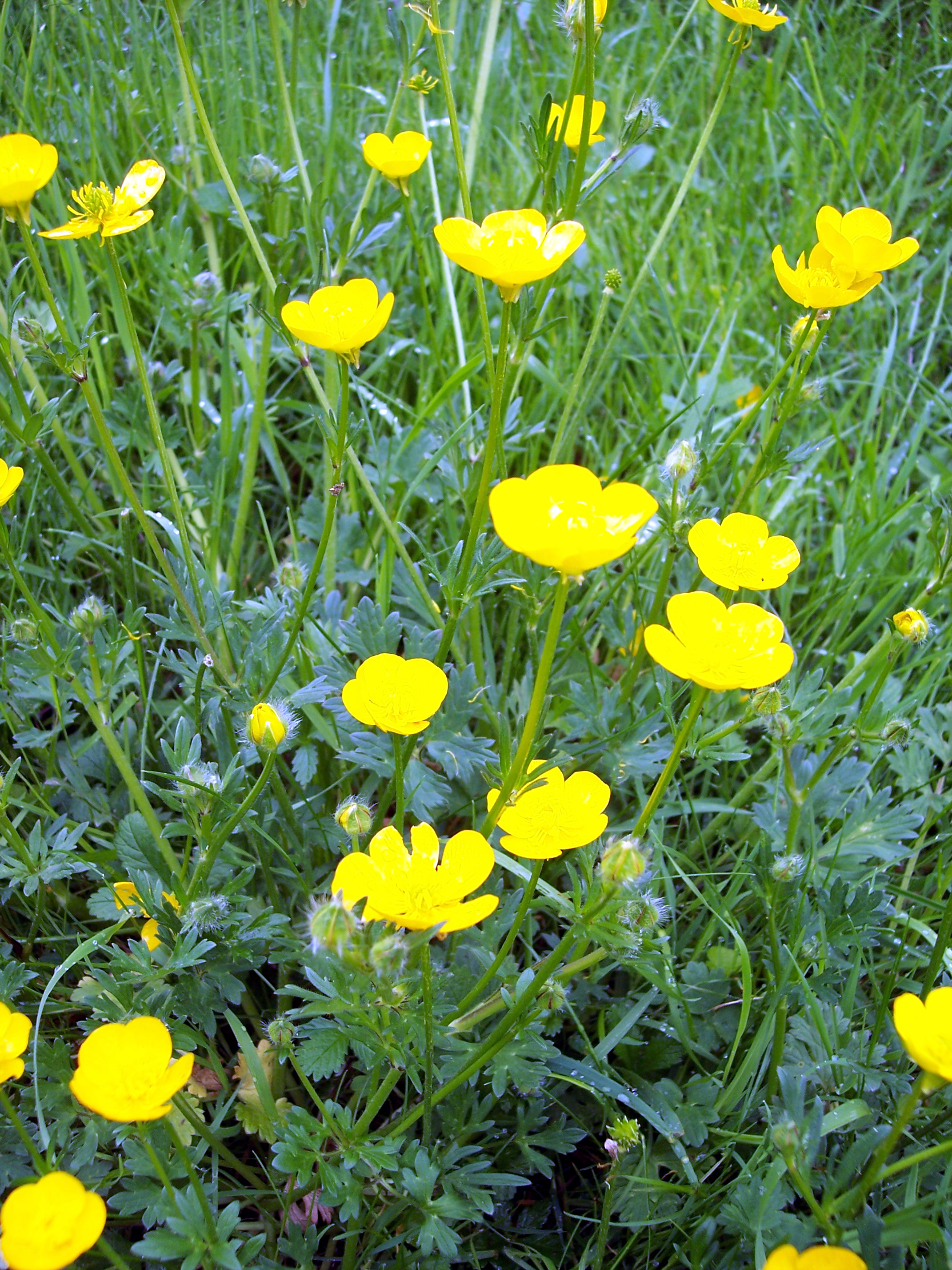 This plant looks similar the the creeping buttercup but has bent back sepals, a swollen bulbous base to the stem and the middle leaflet is stalked.