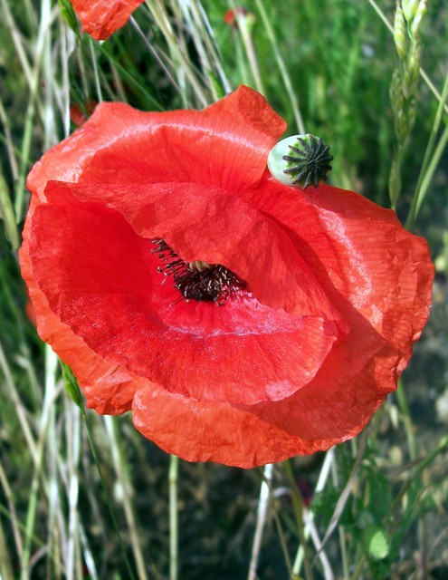 This flower sheds its petals after a single day but may produce over 400 flowers in succession over the summer. It usually flowers from May to October This is probably the species of poppy that grew on the fields of Flanders after the battles in WWI. Poppy seeds can lie dormant and grow rapidly on d...