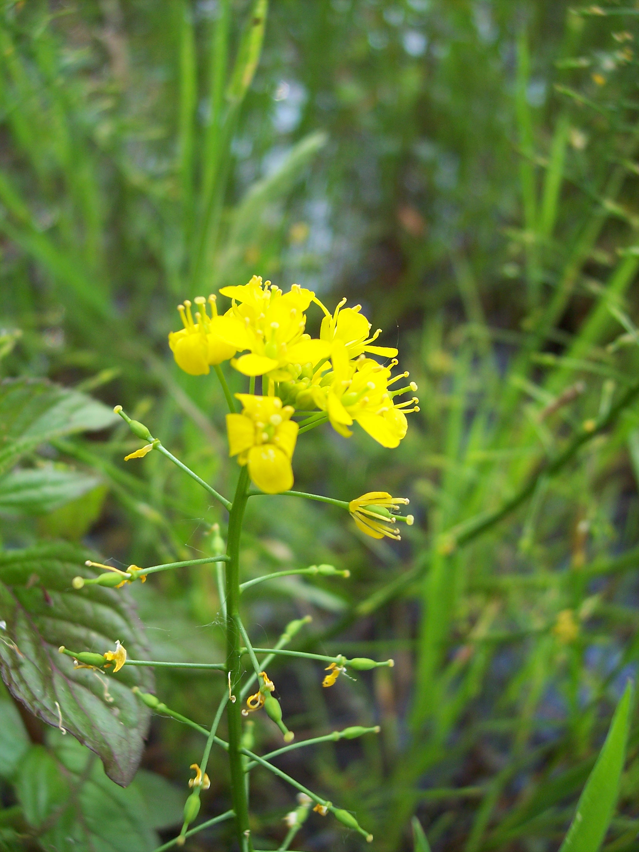 Great Yellow Cress Rorippa Amphibia Nen Gallery